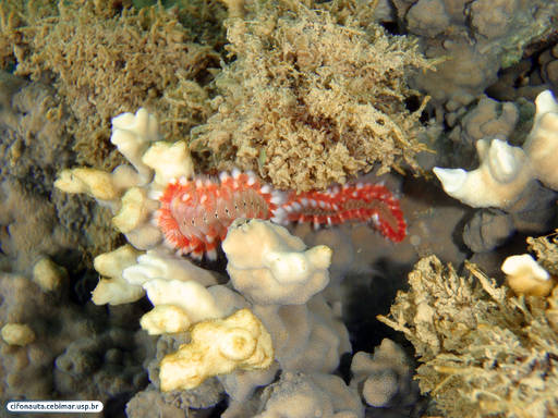 Fire coral and fire worm