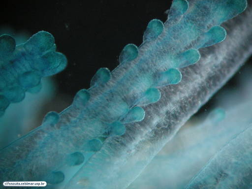 Floating colonial hydrozoan - detail of dactylozooids