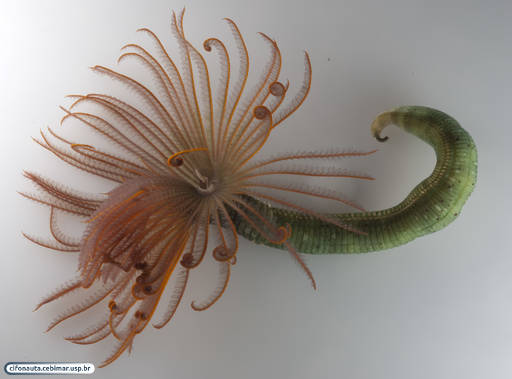 Tubiculous polychaete