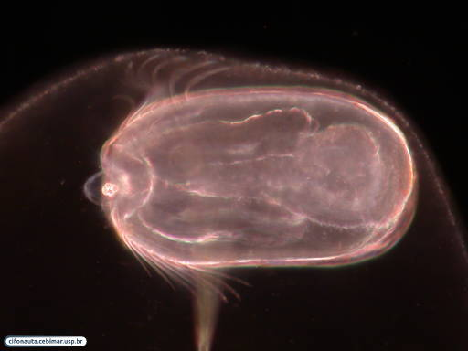Juvenile comb jelly (ctenophore)
