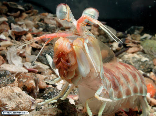 Mantis shrimp (stomatopod)