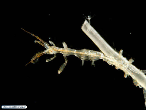 Caprellid amphipod associated with a hydroid