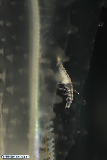 Symbiotic crustacean associated with a comb jelly (ctenophore)