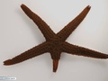 Starfish with a regenerating arm