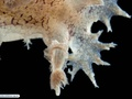 Nudibranch (sea slug) associated with a bryozoan