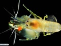 Pistol shrimp or alpheid shrimp