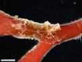 Benthic ctenophore on red alga