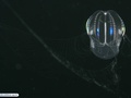 Comb jelly or ctenophore