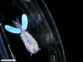 Symbiotic copepod associated with a planktonic invertebrate