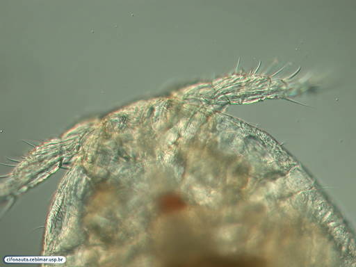 Parasitic copepod of the clam Tivela mactroides